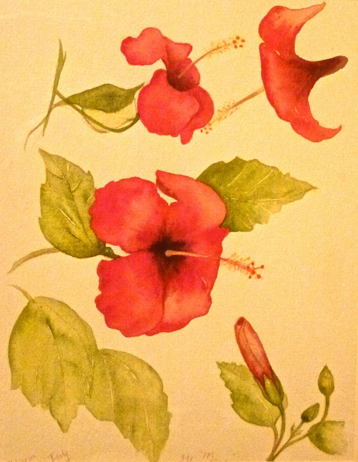 Italian Hibiscus